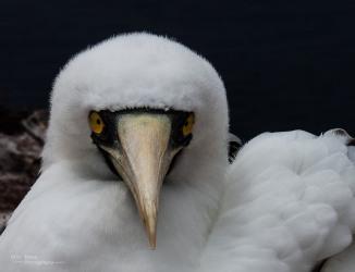 booby-face
