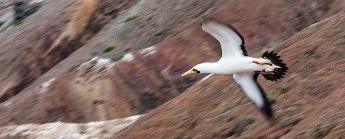 booby-flying