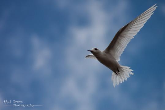 Fairy Tern 1-Edit