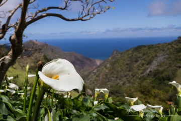 Arum Lilly Sandy Bay