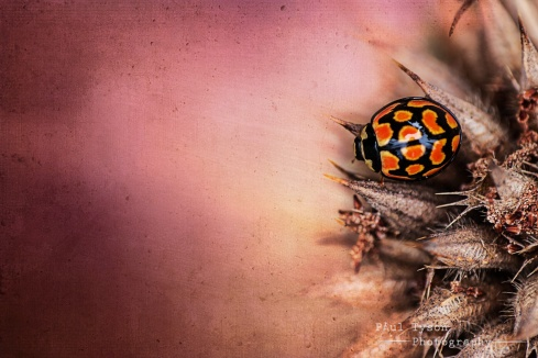 Ladybird Texture
