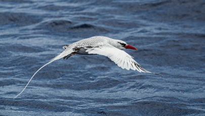tropic-bird-flight-st-helena