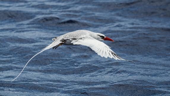 tropic-bird-flight-st-helena